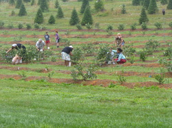 Ratliff's Christmas Tree and Blueberry Farm -